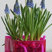 Voorjaarbloeiers op pot in draagtas