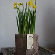 Narcis op pot in draagtasje maat L