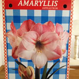 Amaryllis bol in geschenkverpakking